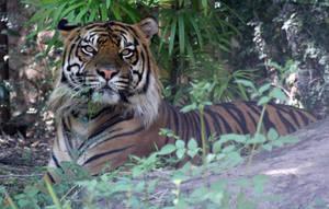 Jungle Tiger Closeup by firenze-design
