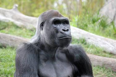 Gorilla 7 by firenze-design
