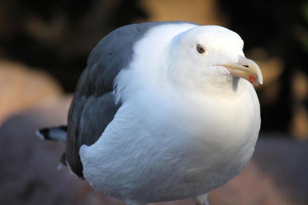 Fat seagull by firenze design on deviantart