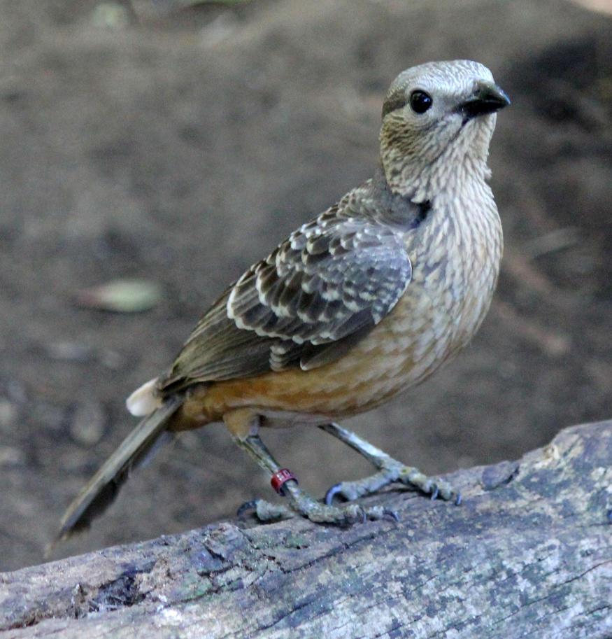 Brown Bird 2 by firenze-design