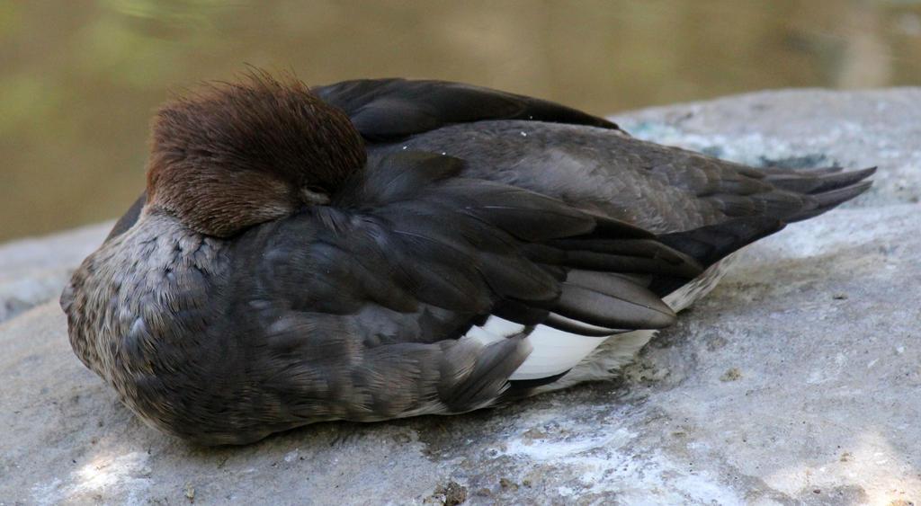 Sleeping Duck by firenze-design