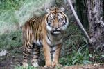 Tiger Stock 8