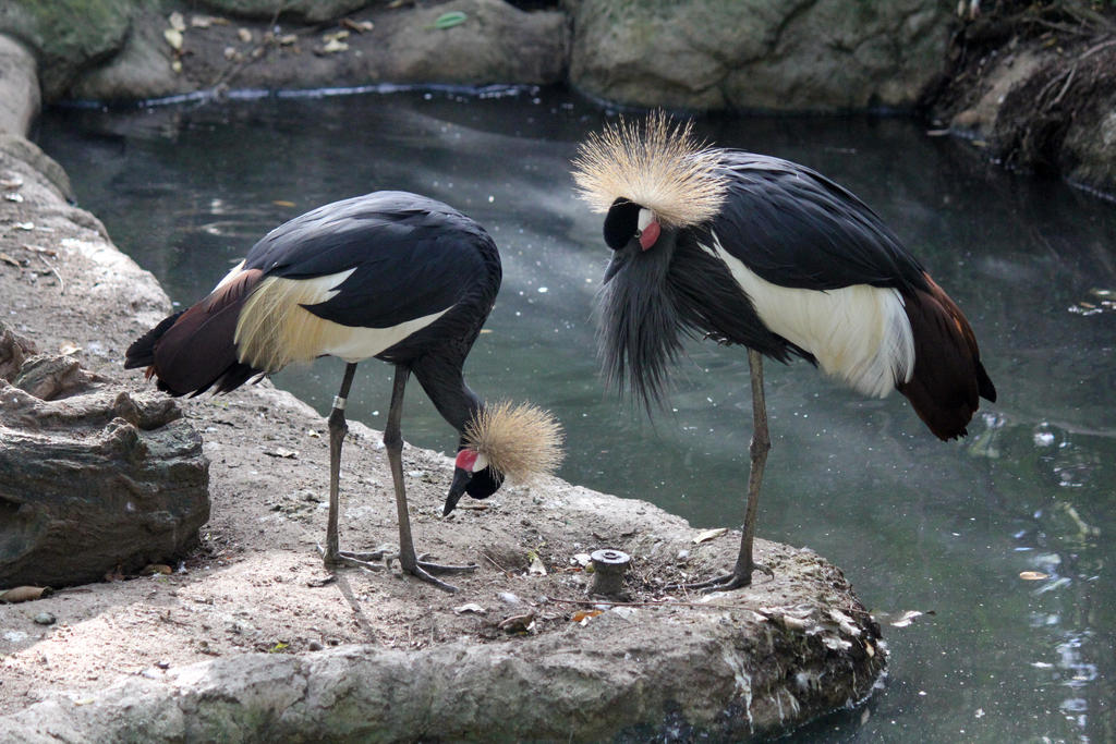 African Crowned Crane Stock 2 by firenze-design
