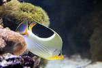 Butterflyfish Stock