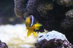 Clownfish Stock
