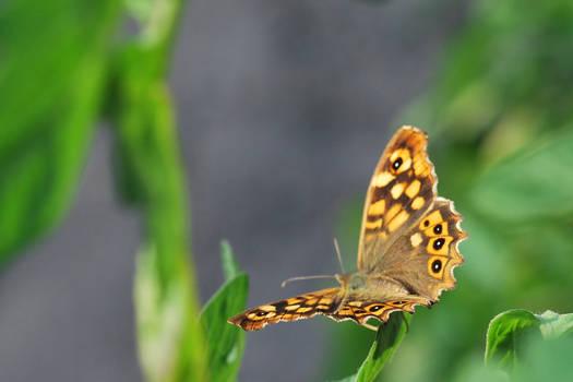 Papillon recadrage