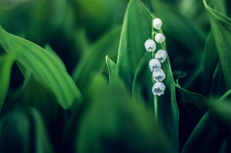 Lily of the Valley by M-0-N-0