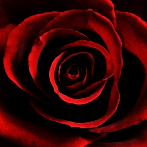 blood red rose by oanna on DeviantArt