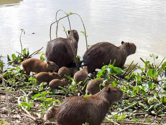 Capybara Family by RaptorWings
