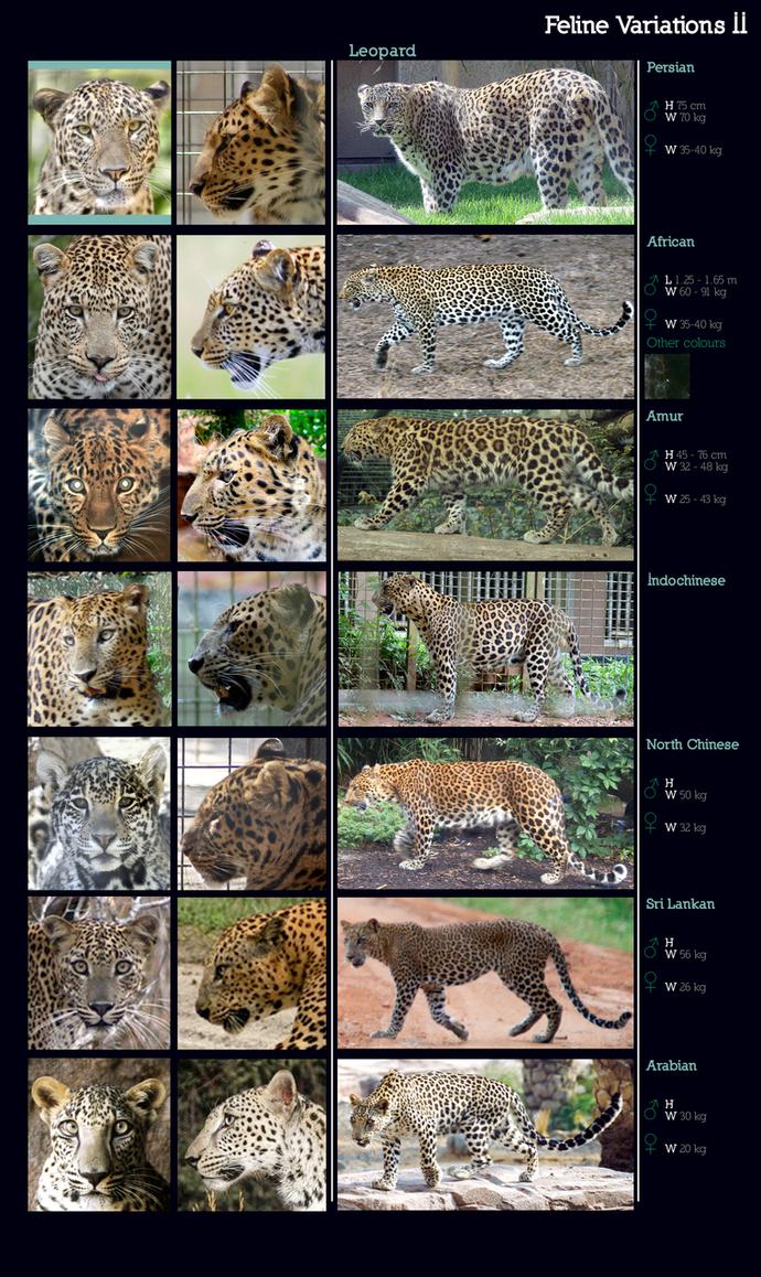 Feline Variations II: Leopard by sindos