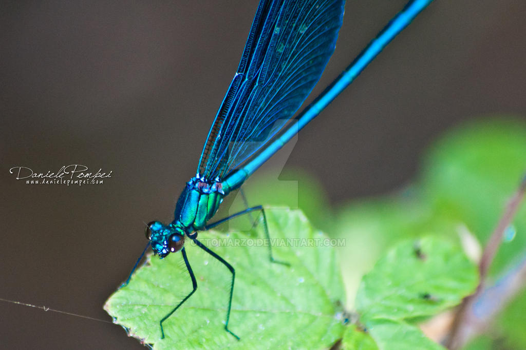 Blue Dragonfly 2 by OttoMarzo