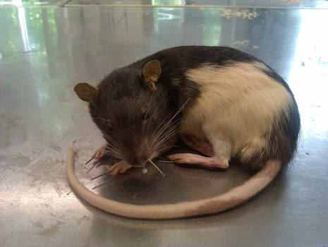 Rat no. 5