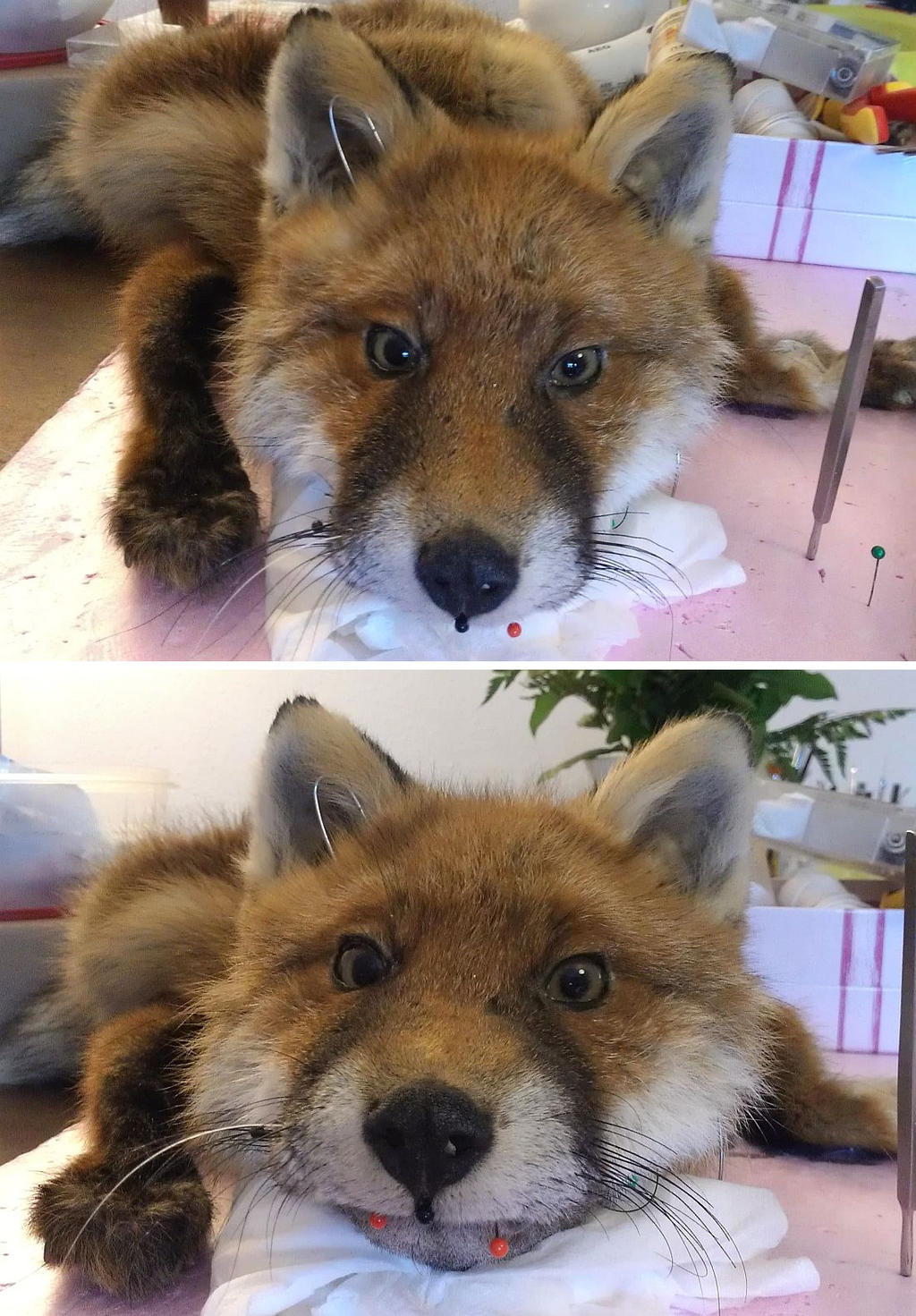 WIP Red fox softmount by DeerfishTaxidermy
