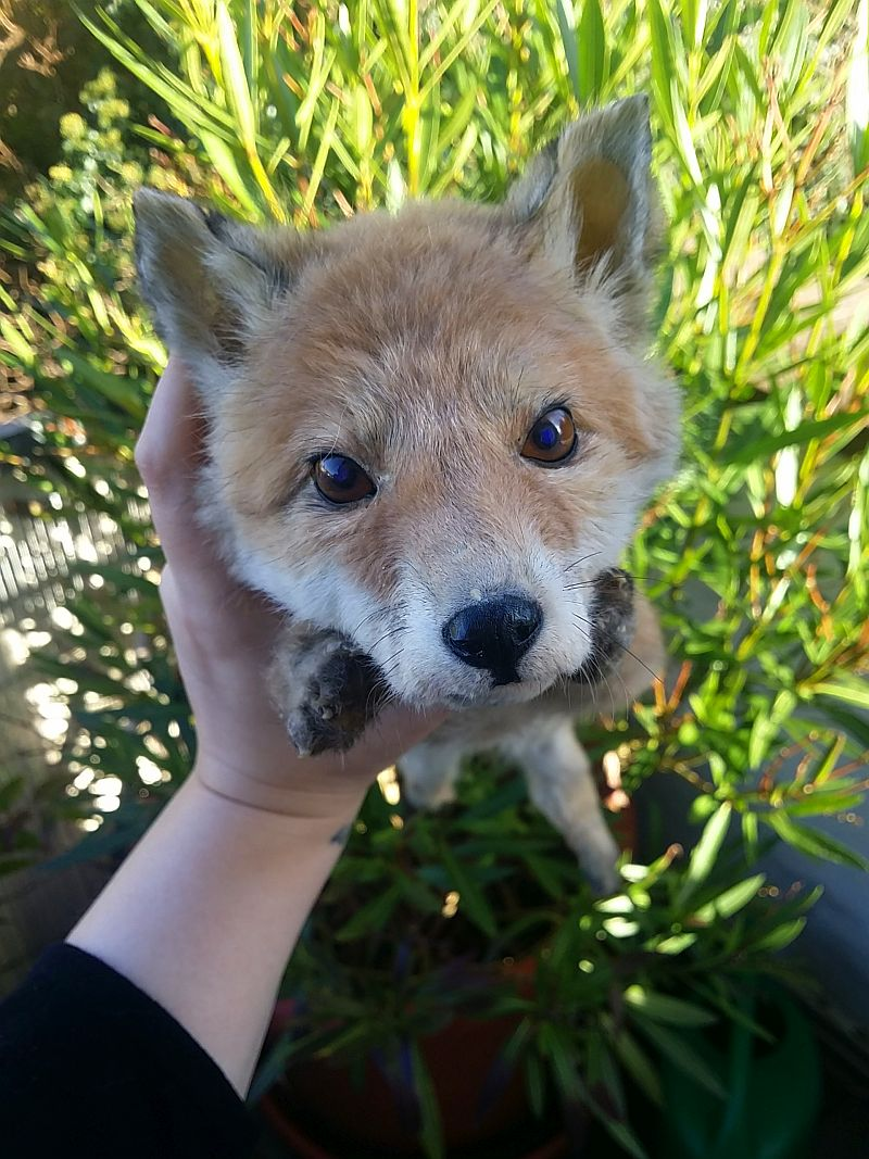Baby Red Fox Softmount SOLD by DeerfishTaxidermy on DeviantArt