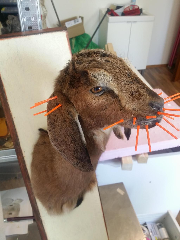 WIP Goat Kid Shoulder Mount by DeerfishTaxidermy on DeviantArt
