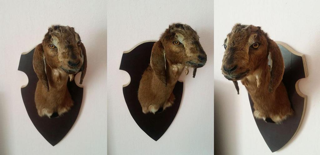 Goat Kid Shoulder Mount SOLD by DeerfishTaxidermy on ...