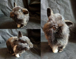 Half lopped bunny lifesize mount FOR SALE