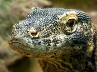 Komodo Dragon by kez245
