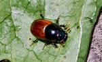Rescue Beetle