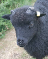 A Hebridean Lamb by moonhare77