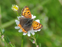 Small Copper on Flower by moonhare77