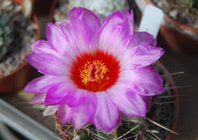 Flowering Cacti 1 by moonhare77