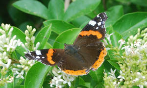 Red Admiral on Privet by moonhare77