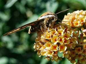 Bedstraw Hawk-moth 2