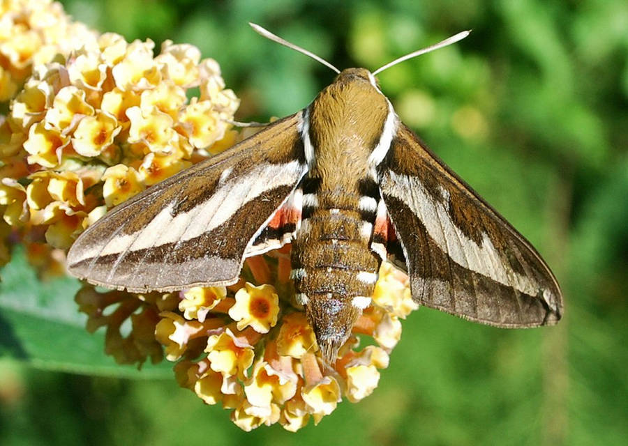 Bedstraw Hawk-moth 1 by moonhare77