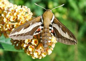Bedstraw Hawk-moth 1