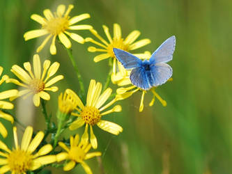 Common Blue by moonhare77