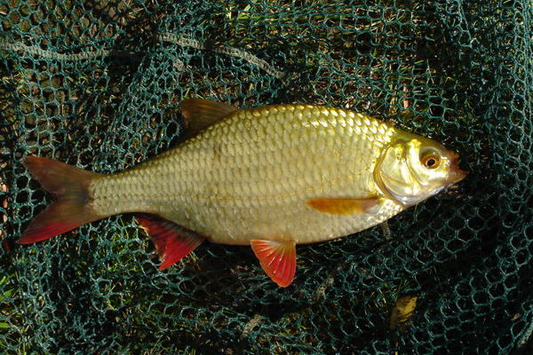 Golden rudd by pointbreak06 on deviantart for Golden ornamental pond fish