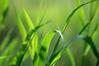 Windows Vista - Grass by xdragon16