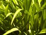 Windows Vista Grass by xdragon16