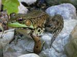 Frog 1: stock