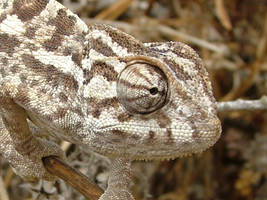 Crazy Eye Lizard... by Faunamelitensis