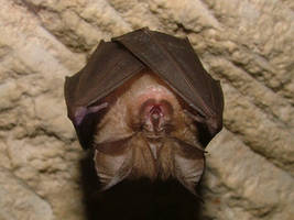 Lesser Horseshoe Bat by Faunamelitensis
