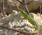 Gozitan striped female lizard