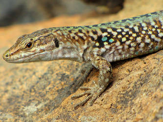 Italian Wall Lizard from Alicudi by Faunamelitensis