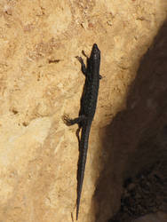 Female Filfla Wall lizard by Faunamelitensis