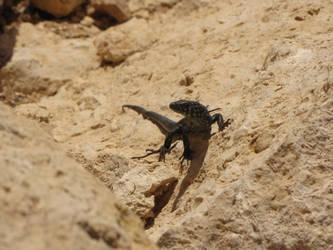 Juvinile Filfla wall lizard by Faunamelitensis