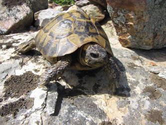 Testudo hermanni in Sardinia by Faunamelitensis