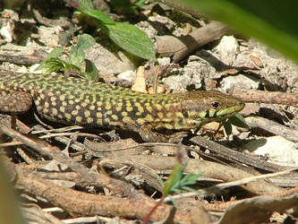 Podarcis filfolensis male on  Malta Island by Faunamelitensis