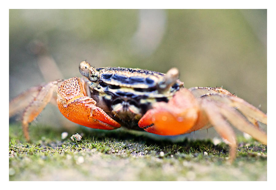 Holy crab by derozio