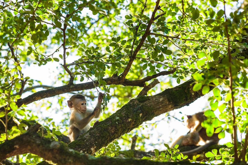 Ceylon-Hutaffe (Toque Macaque, Macaca sinica) by FrlMahlzeit