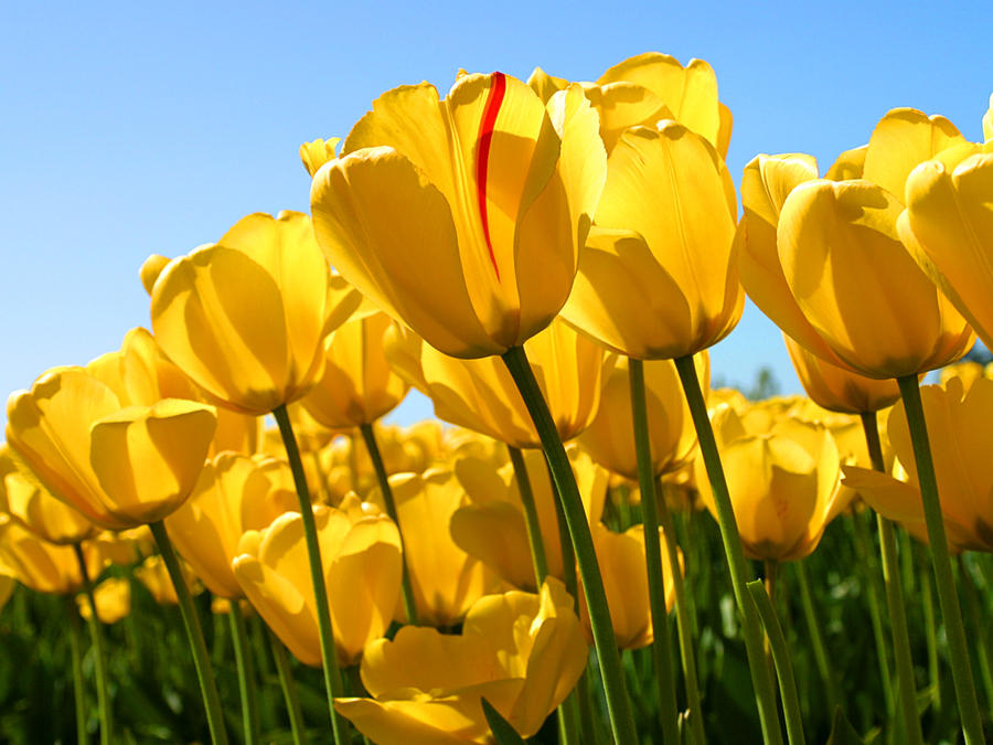 Yellow Tulips by FlowerColour