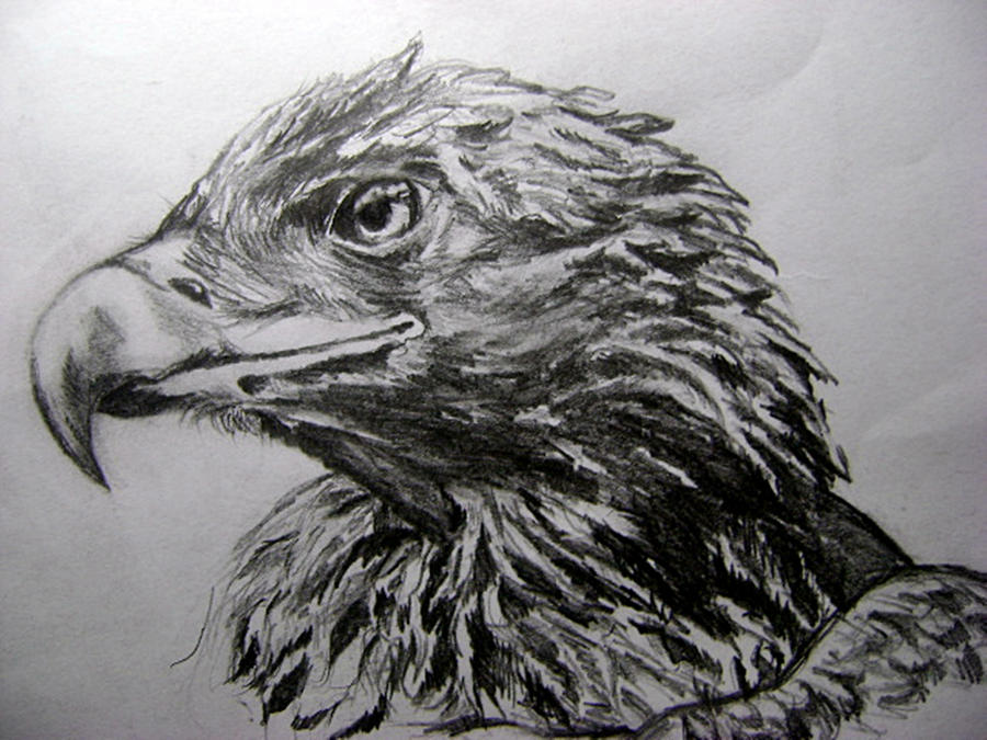 hawk study by Mr-Springserpent