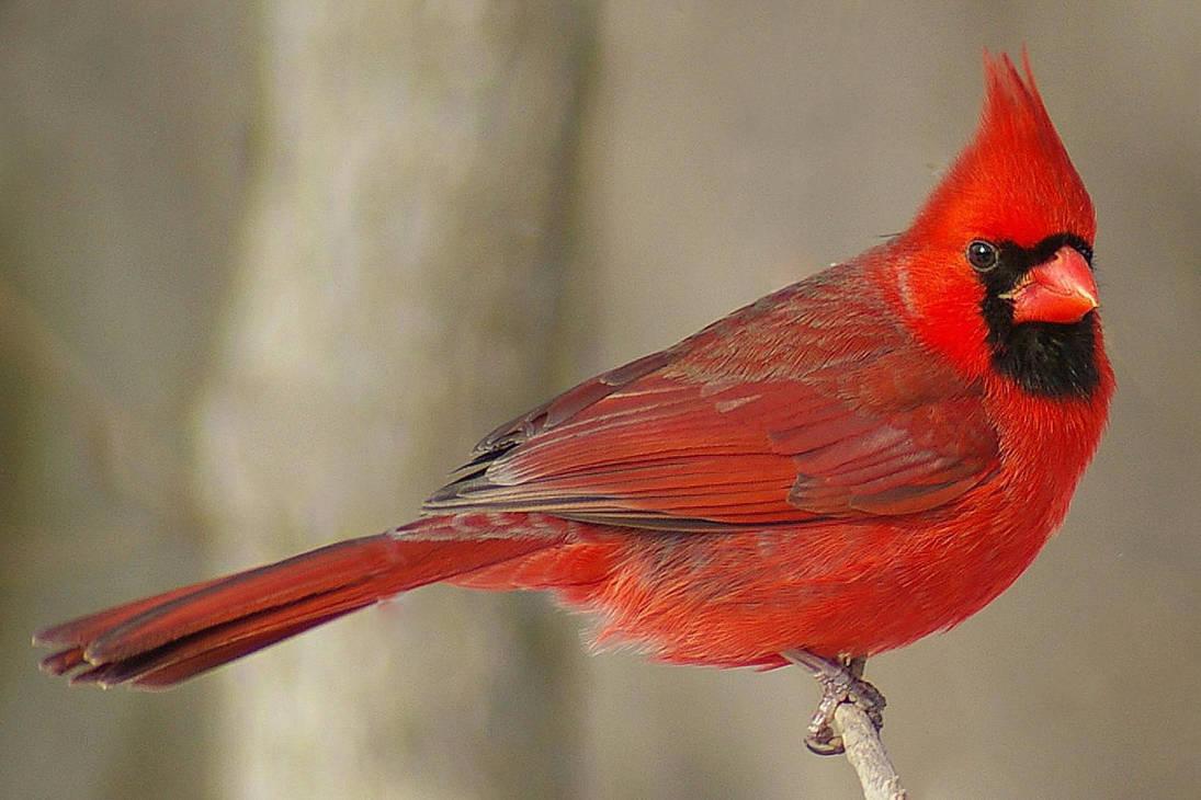 Northern-cardinal-male-58a6dae73df78c345b5f3610