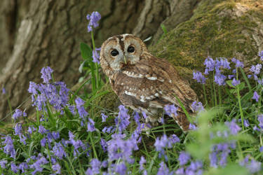 Tawny Owl Amongst Bluebells