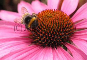 Bumblebee on Rudbeckia
